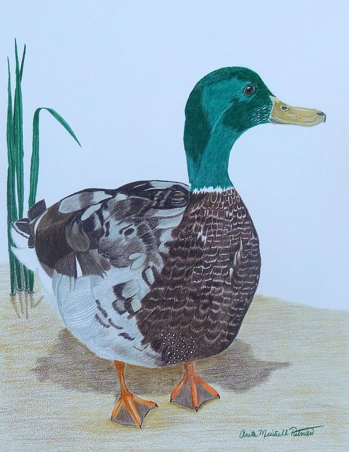 Mallard Painting - The Bachelor by Anita Putman