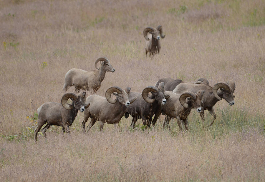 Bighorn Sheep Photograph - The Bachelors 2 by Whispering Peaks Photography