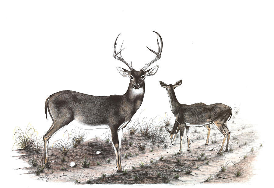 Whitetail Drawing - The Backroad by Steve Maynard