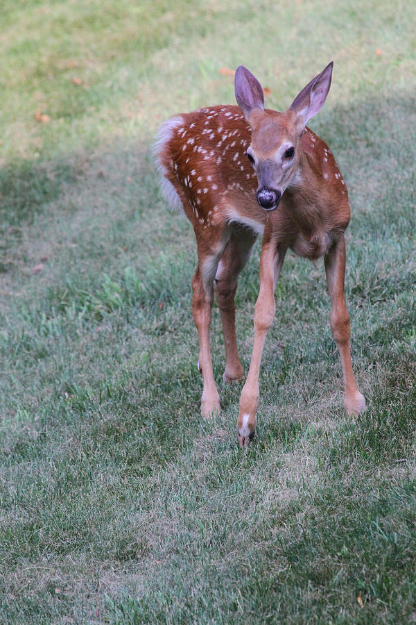 Deer Photograph - The Bambi Stance by Karol Livote