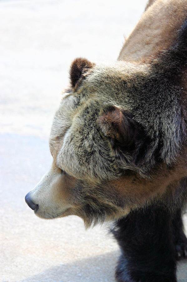 Bear Photograph - The Bear by Karol Livote
