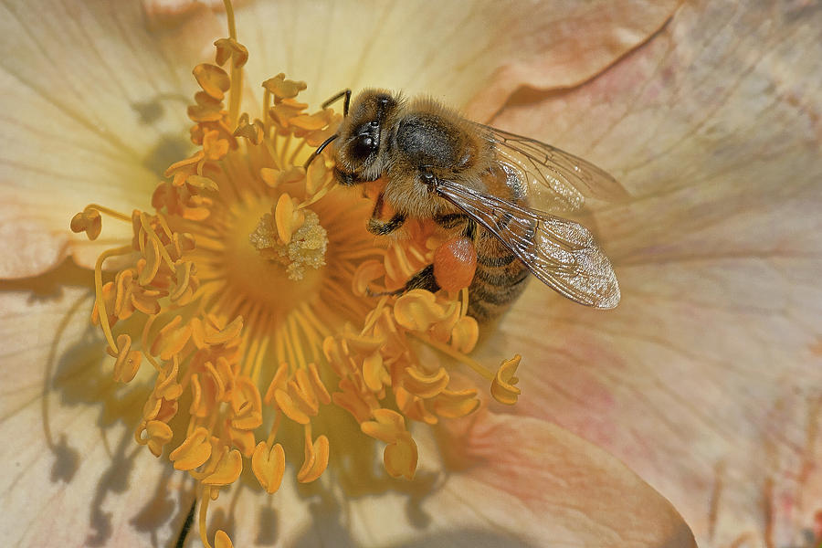 Bee Photograph - The Beautiful Bee by Roberto Aloi