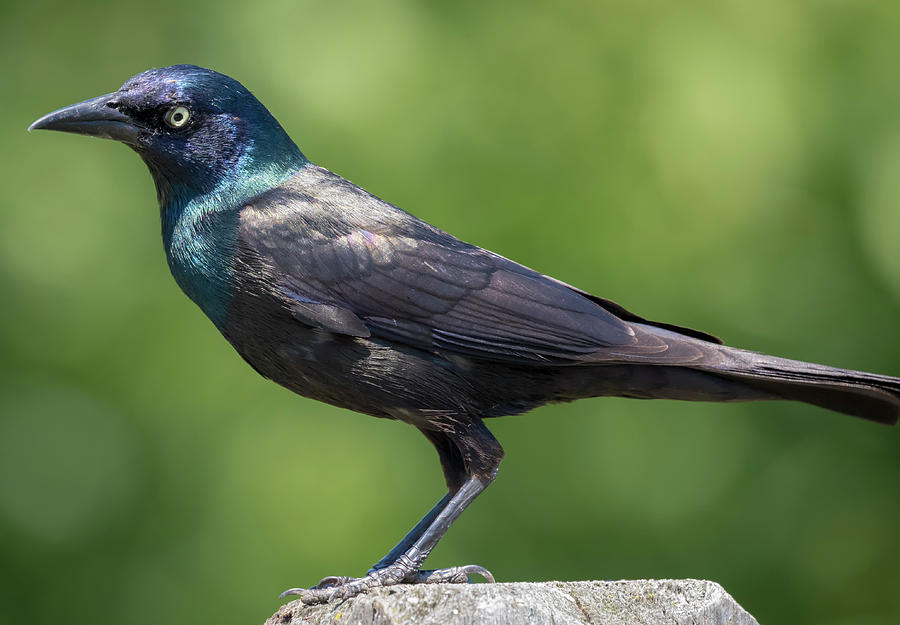 The Beautiful Common Grackle by Ricky L Jones