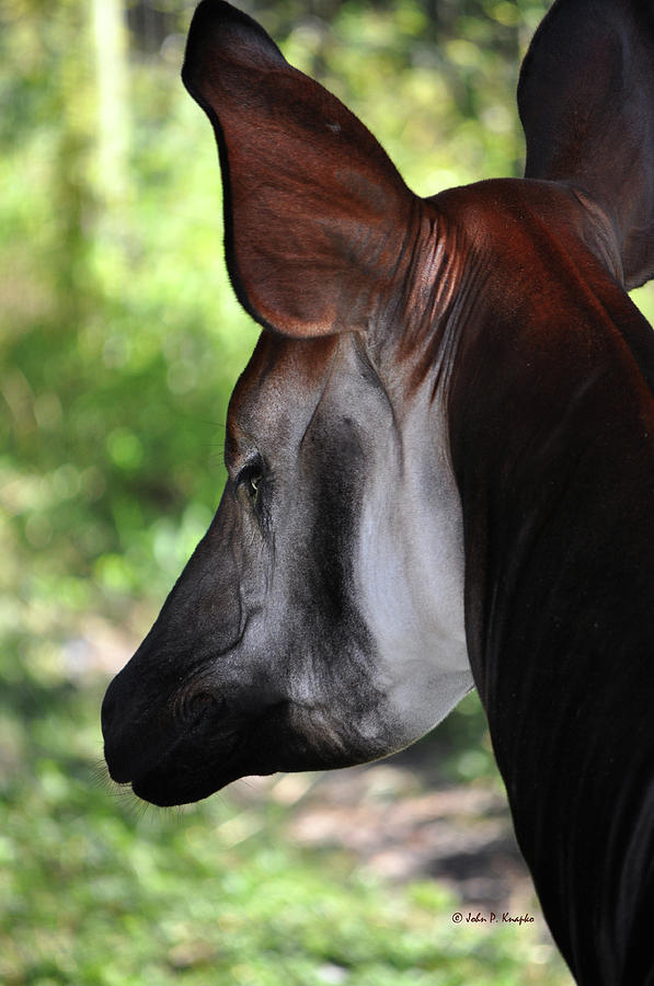 John Knapko Photograph - The Beautiful Okapi 01 by John Knapko