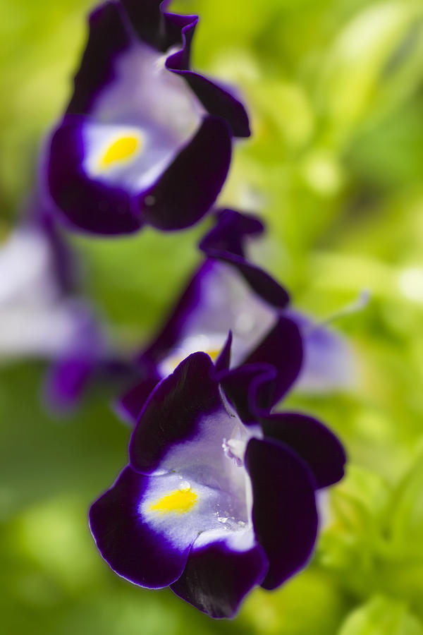 Pansy Photograph - Whats Wrong With Being A Pansy? by Roberto Aloi