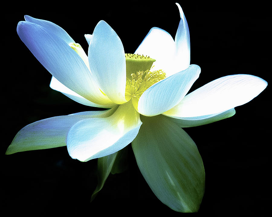 Lotus Photograph - The Beauty Of A Lotus by Julie Palencia