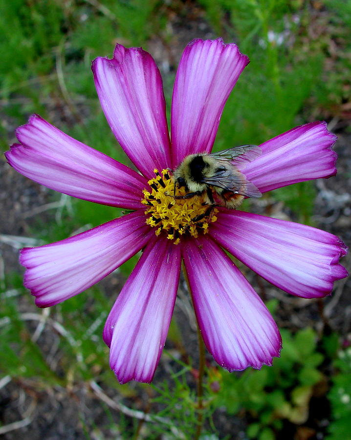 Pink Photograph - The Bee And A Pink Cosmos by Ed Mosier