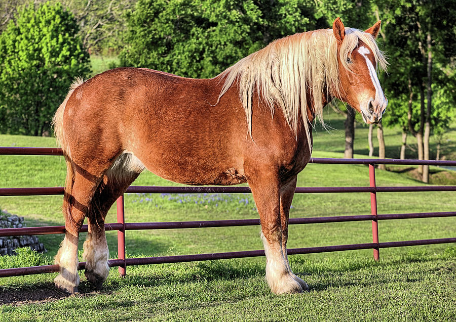 The Belgian Draft Horse Photograph by JC Findley