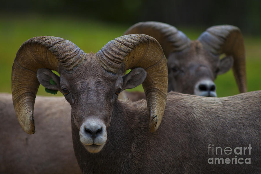 Bighorn Sheep Photograph - The Big Boys by Barbara Schultheis