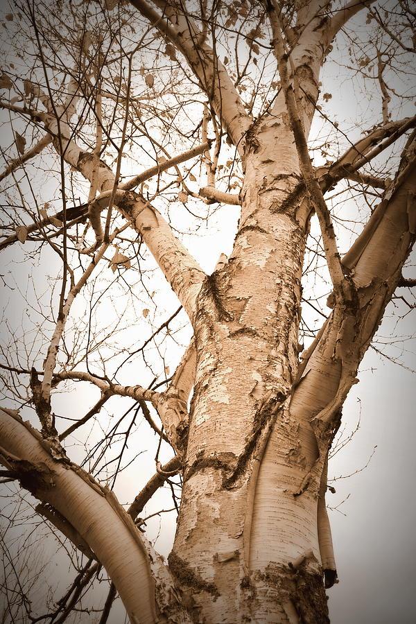 Sepia Photograph - The Birch by Mark Salamon