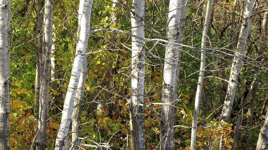 The Birches Photograph by Kimberly Mackowski
