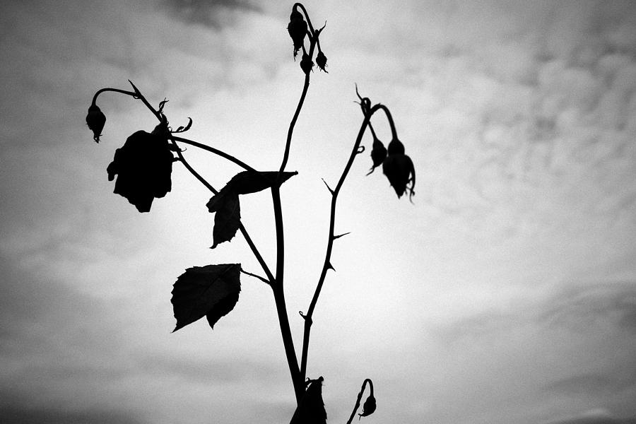 The Black Rose Photograph