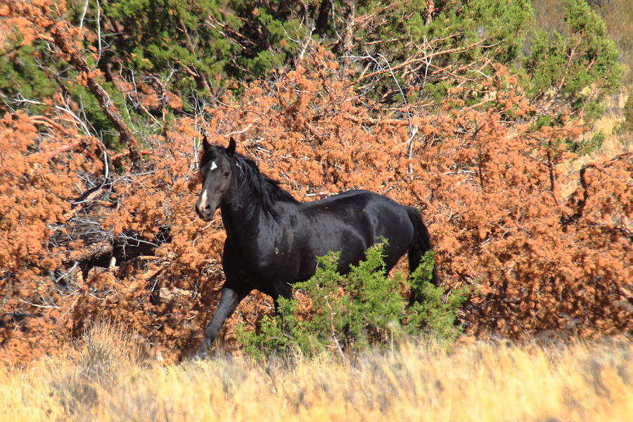 Wild Mustang Photograph - The Black Stallion by Rod Giffels