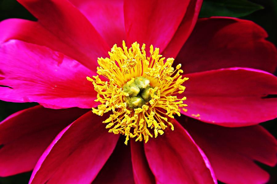 Flower Photograph - The Blaze by Melinda Dominico