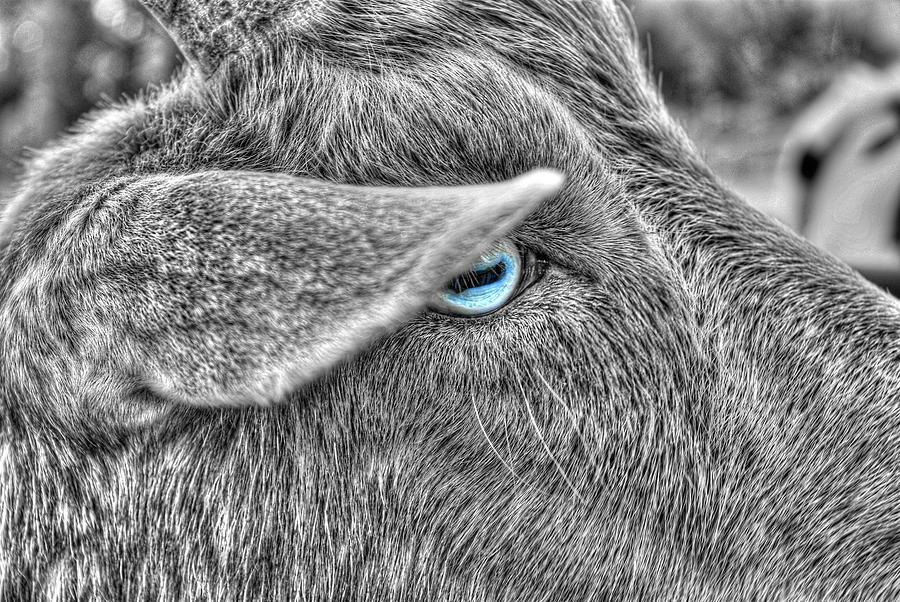 The Blue Eyed Goat Photograph