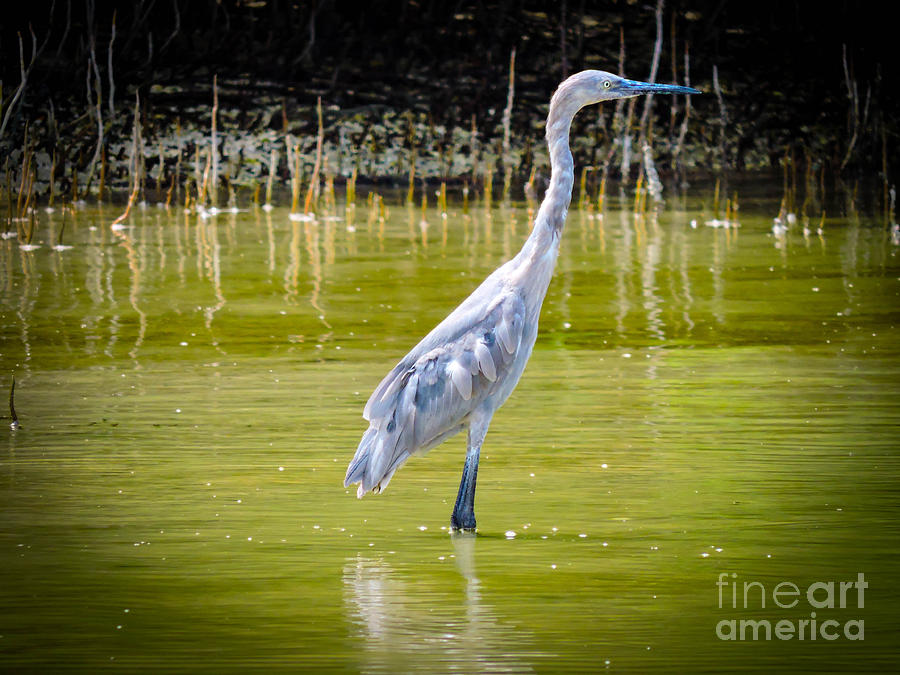 Shorebirds Photograph - The Blue Fisherman by Marilee Noland