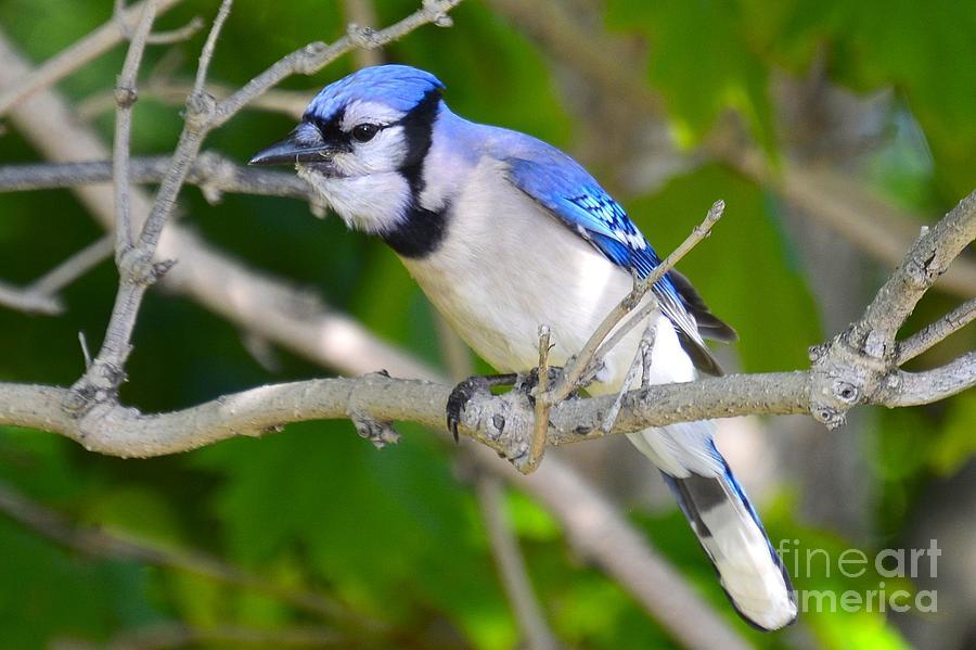 Birds Photograph - The Blue Jay by Stephanie  Varner