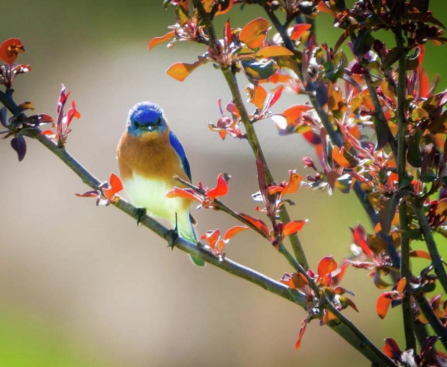 The Bluebird Photograph by Heather Hubbard