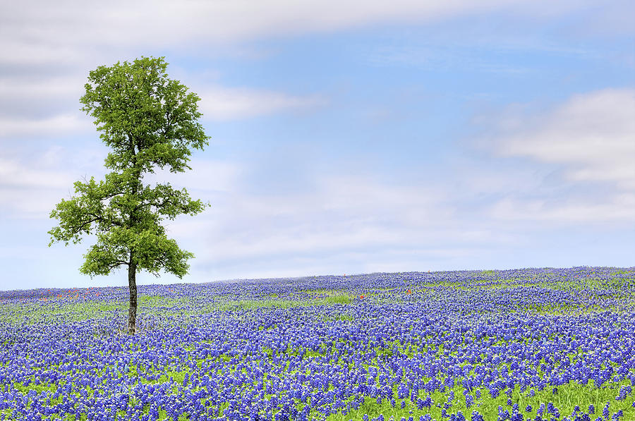 The Bluebonnet Trail In Ennis Texas Photograph By Jc Findley