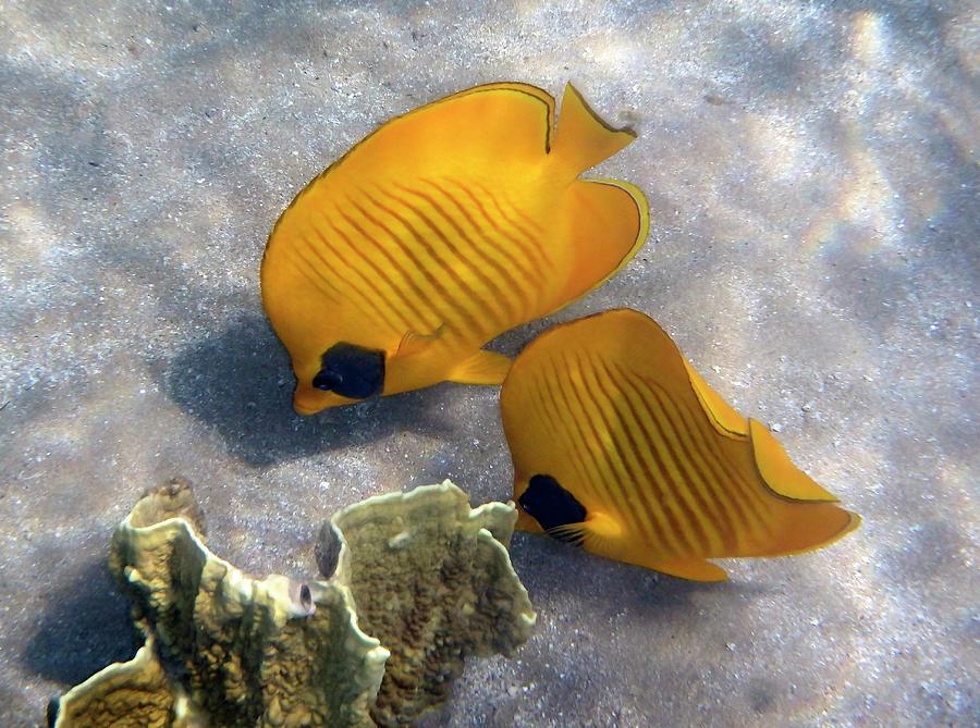 Sea Photograph - The Bluecheeked Butterflyfish by Johanna Hurmerinta