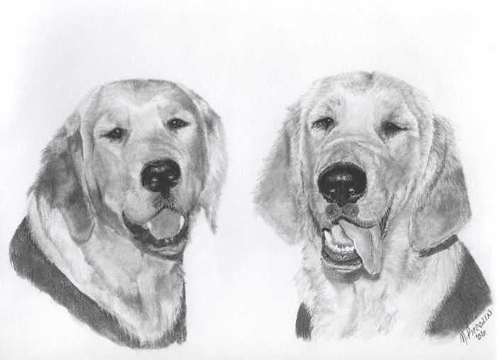 Golden Retrievers Drawing - The Boys by Marlene Piccolin