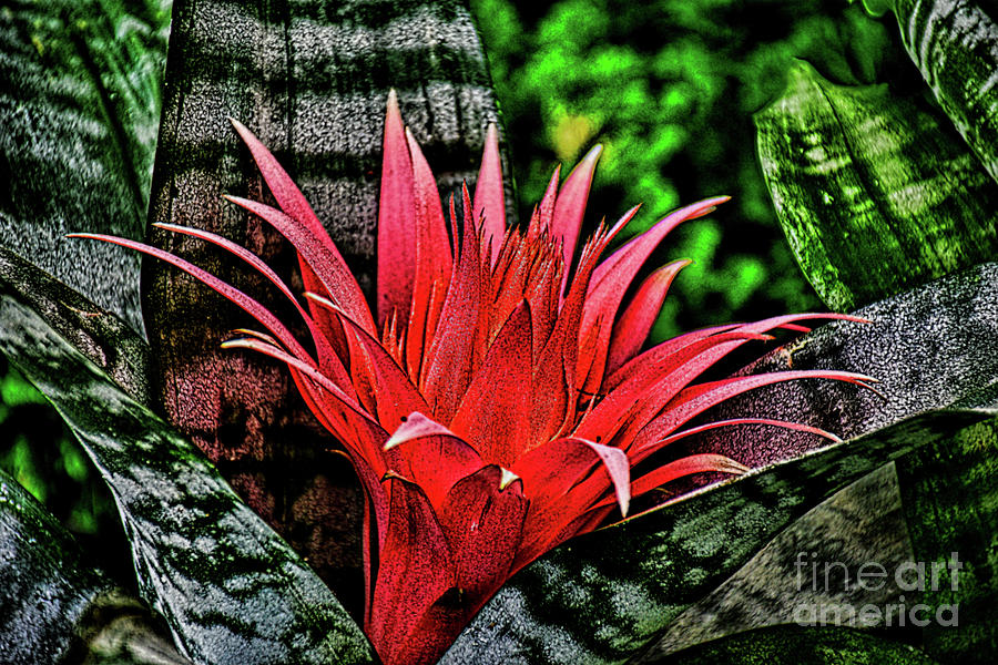 The Bromeliad Silver Vase Plant Photograph By Ray Shrewsberry