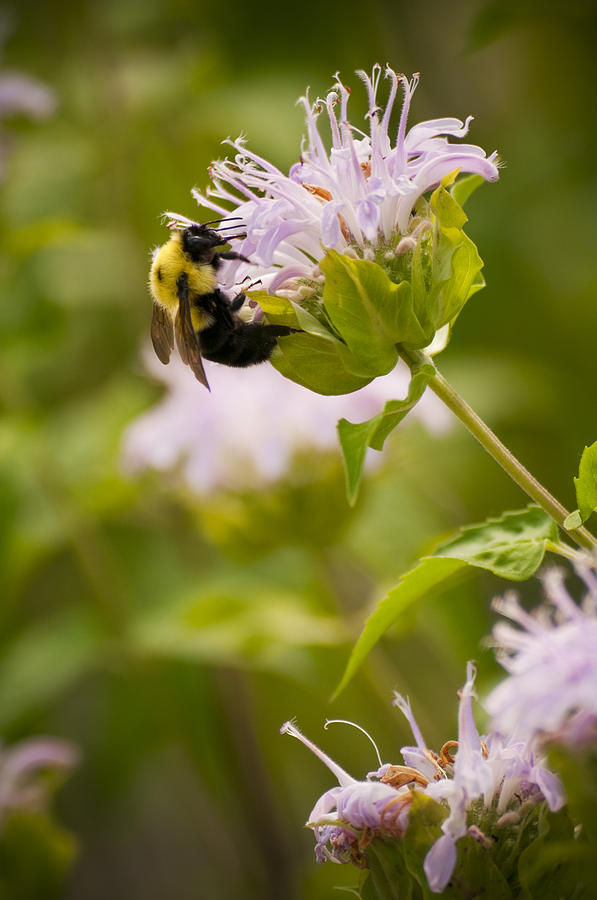 Bumble Bee Photograph - The Bumble Bee by Chad Davis