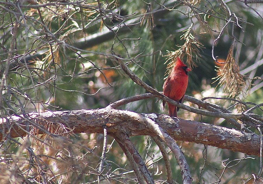 Bird Photograph - The Cardinal by Danielle Allard