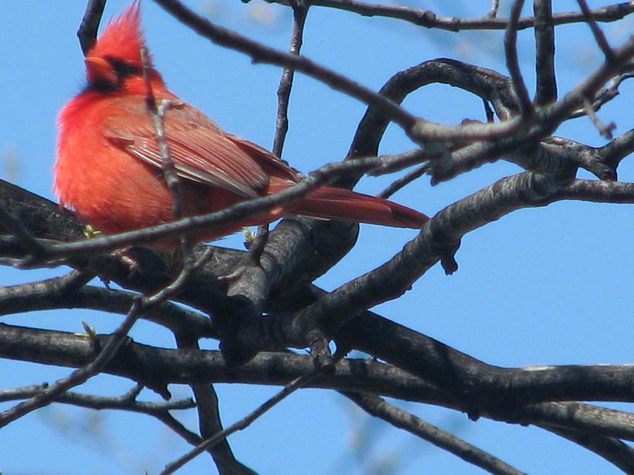 Cardinal Photograph - The Cardinal Serioes 2 Of 4 by Hasani Blue