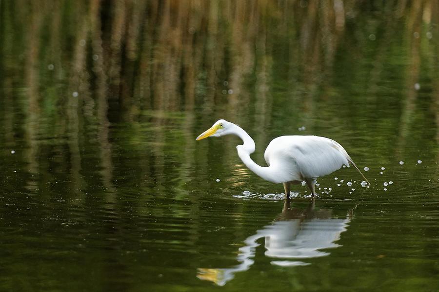 Nature Photograph - The Central Park Egret by M Nuri Shakoor