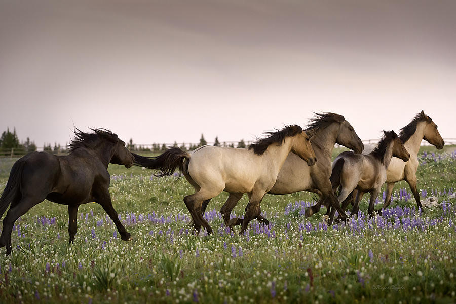 Wild Horses Photograph - The Chase 1 by Roger Snyder