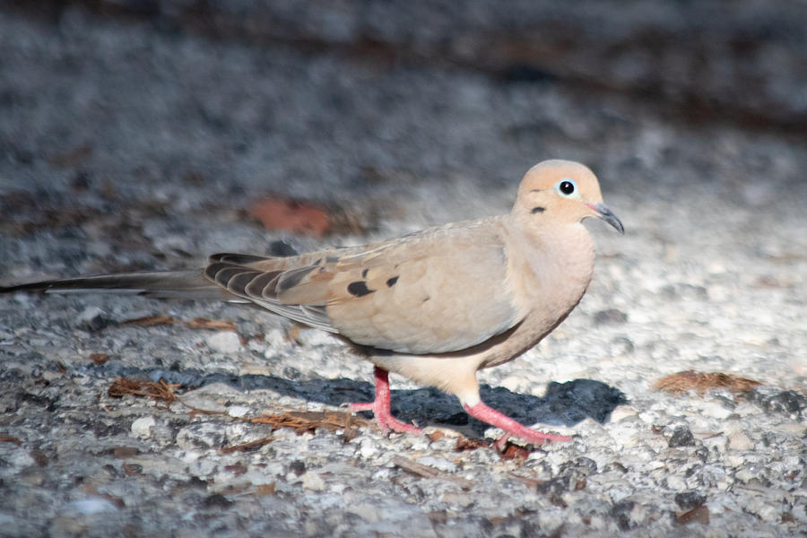 Mourning Dove Photograph - The Chipper Mourning Dove by JR Cox