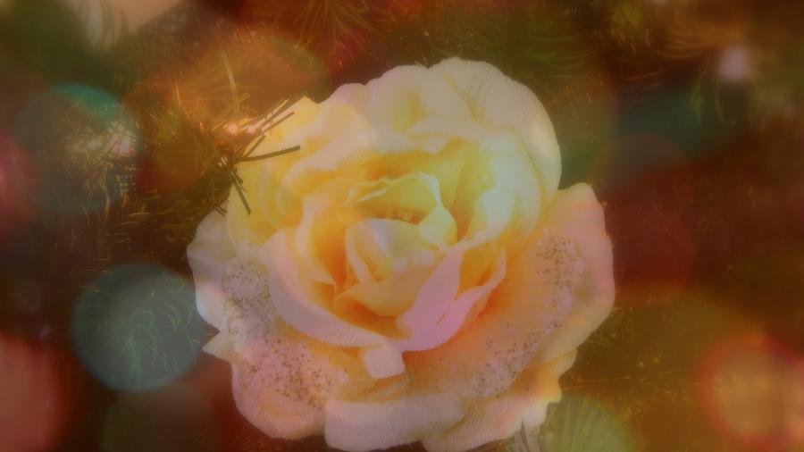 Karen Cook Photograph - The Christmas Rose by Karen Cook
