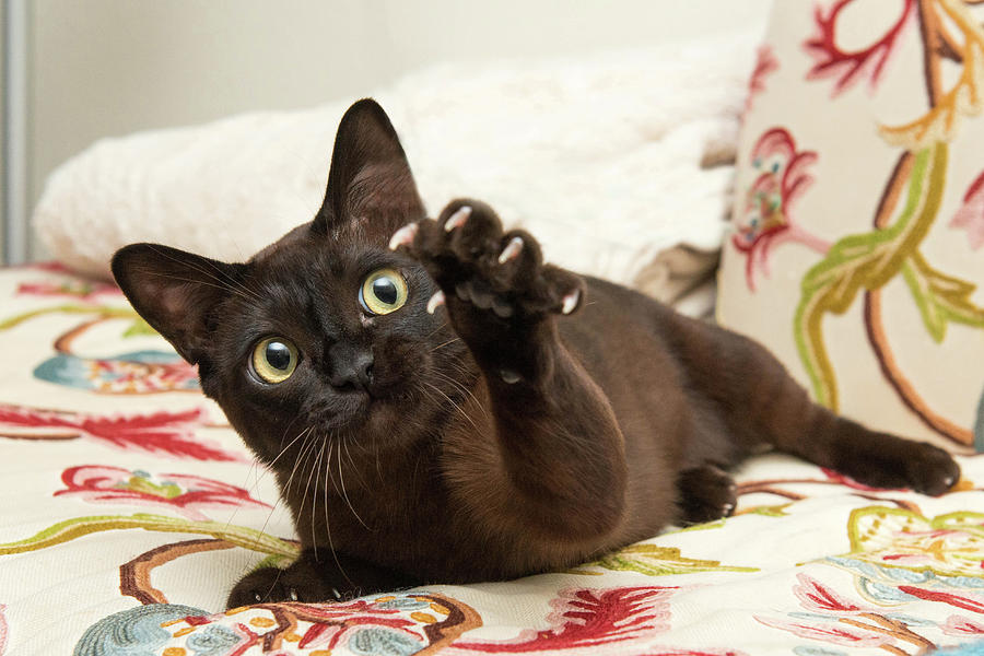 Cat Photograph - The Claw by Josh Norem