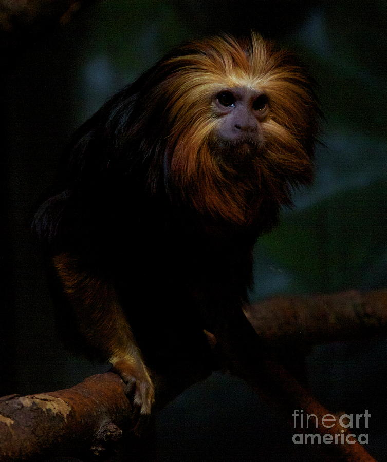 Monkey Photograph - The Coif by Xn Tyler
