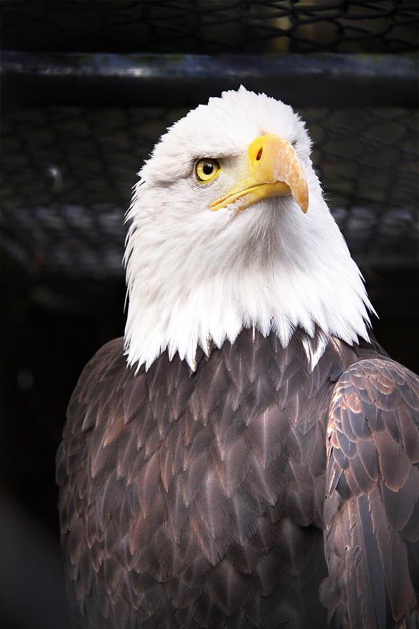 Bald Eagle Photograph - The Commander by Julius Reque