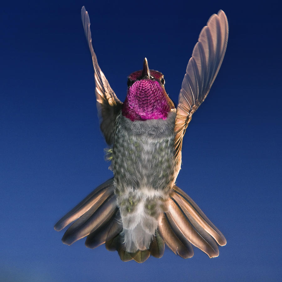 Hummingbird Photograph - The Conductor Of Hummer Air Orchestra by William Freebilly photography