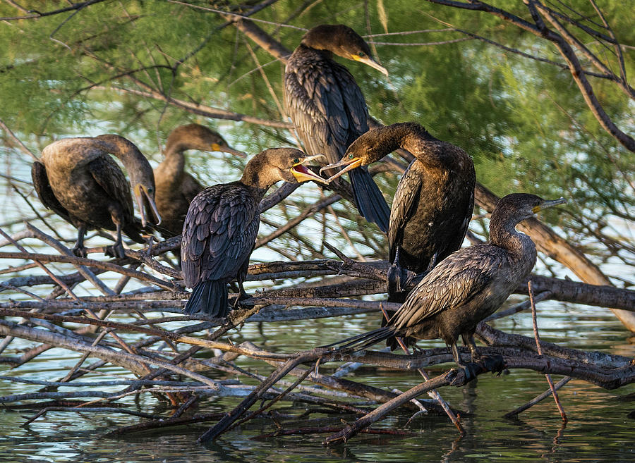 Cormorant Photograph - The Conversation by Emily Bristor