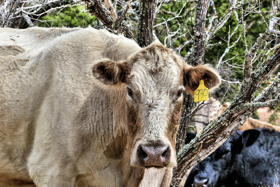 The Cow Photograph - The Cow by JC Findley