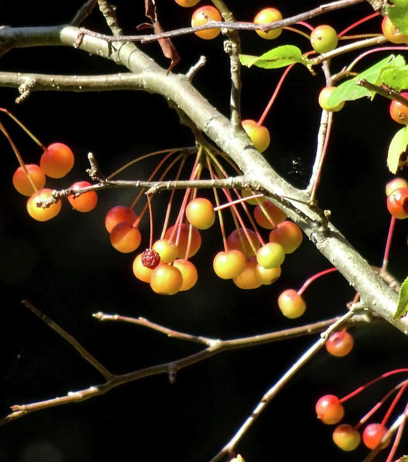 The Crabapples by Catherine Arcolio