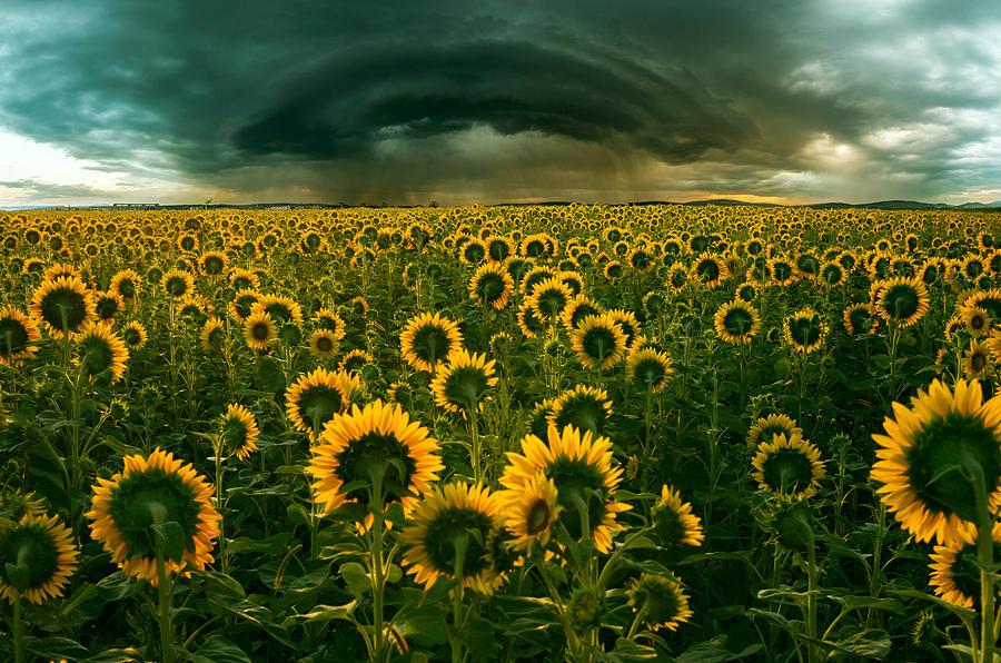 Sunflower Photograph - The Dark Crown by Adrian Borda