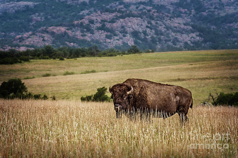 Buffalo Photograph - The Days End by Tamyra Ayles