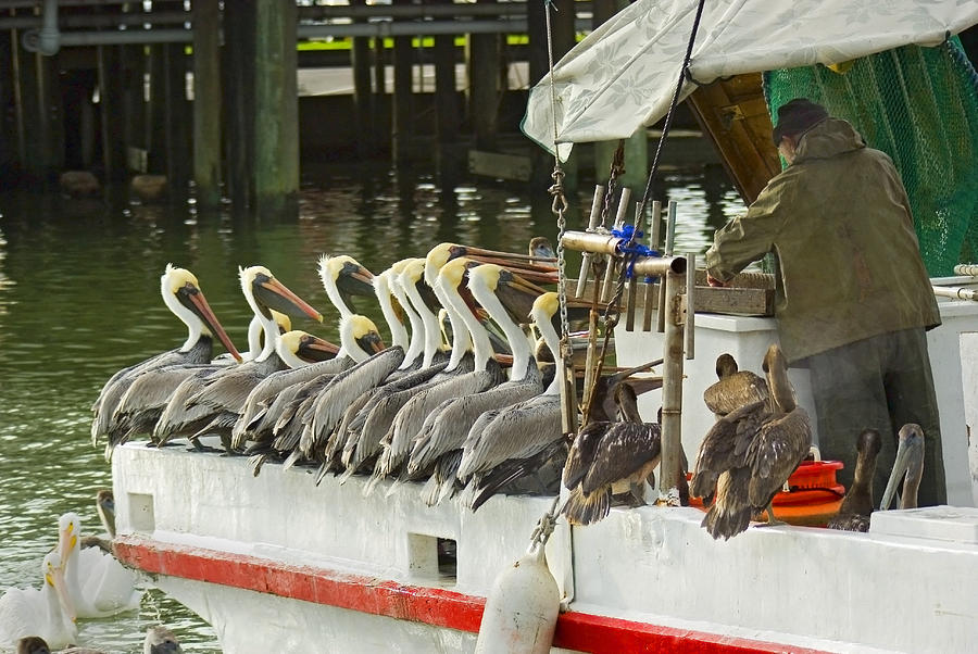 Brown Pelicans Photograph - The Diner by Robert Brown