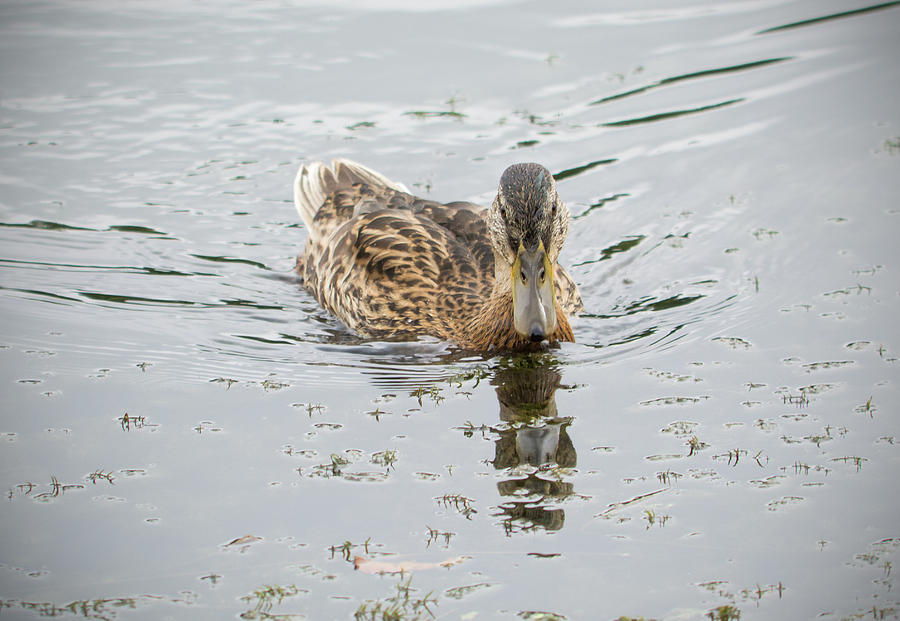 Duck Photograph - The duck by Konstantin Bibikov