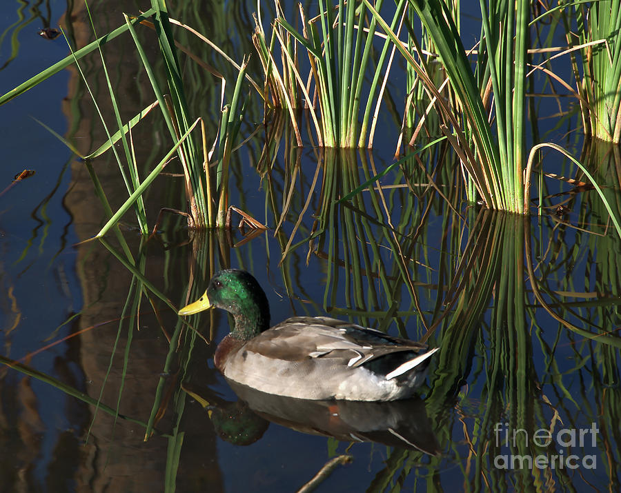 Duck Photograph - The Duck On The Pond At Papago Park by Kirt Tisdale