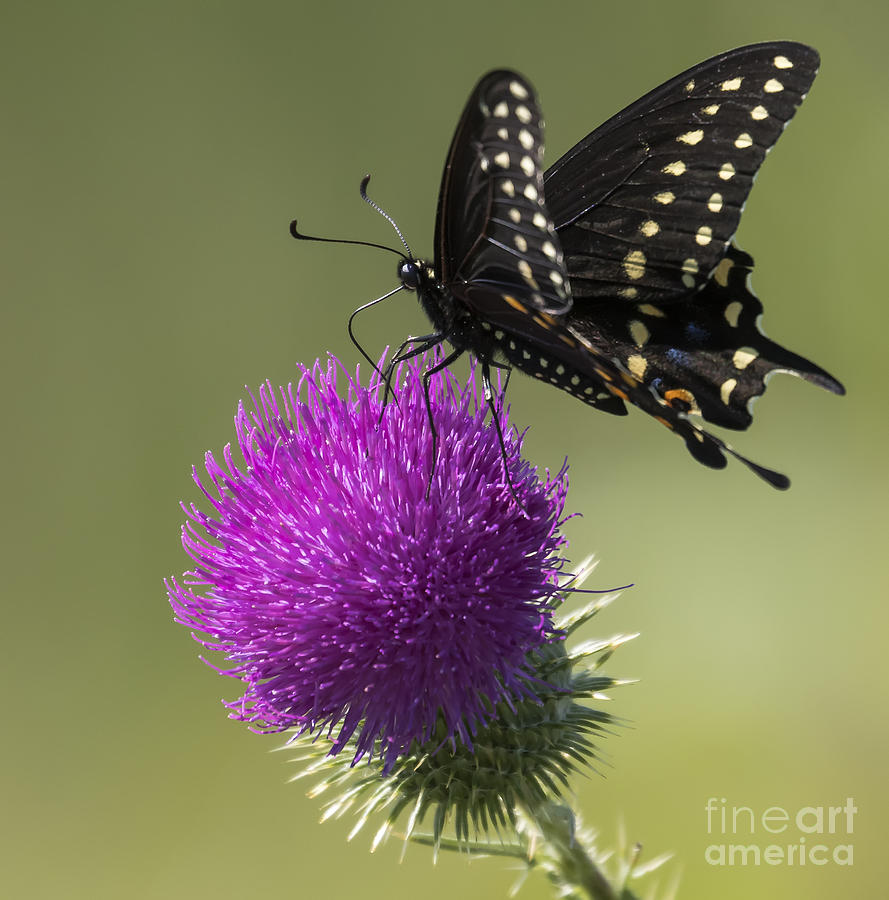Canon Photograph - The Eastern Black Swallowtail  by Ricky L Jones