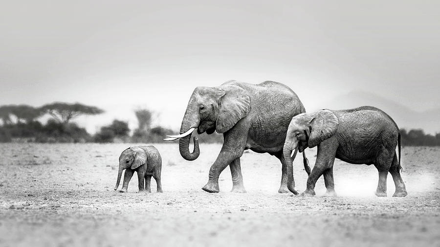 Elephant Photograph - The Elephant Family by Vicki Jauron