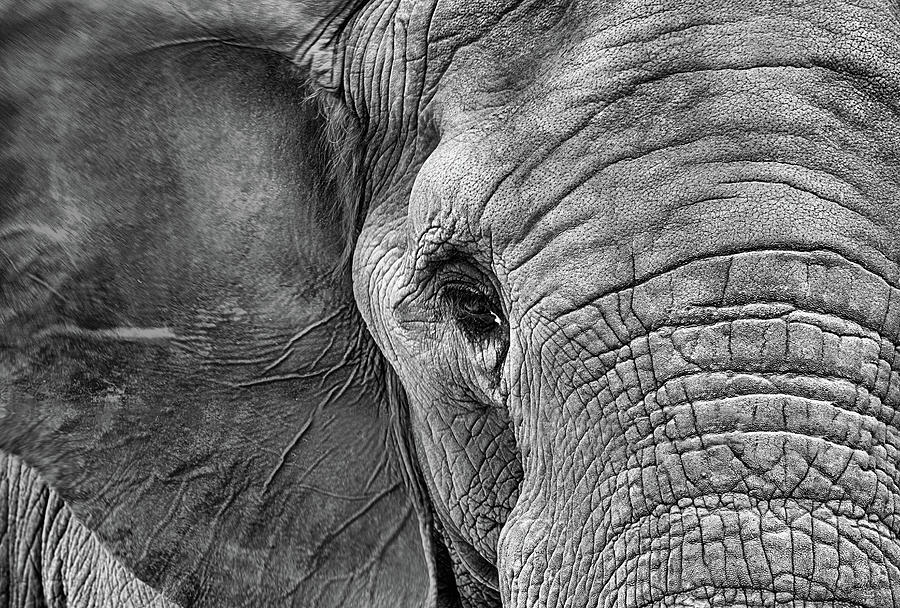 Elephant Photograph - The Elephant in Black and White by JC Findley