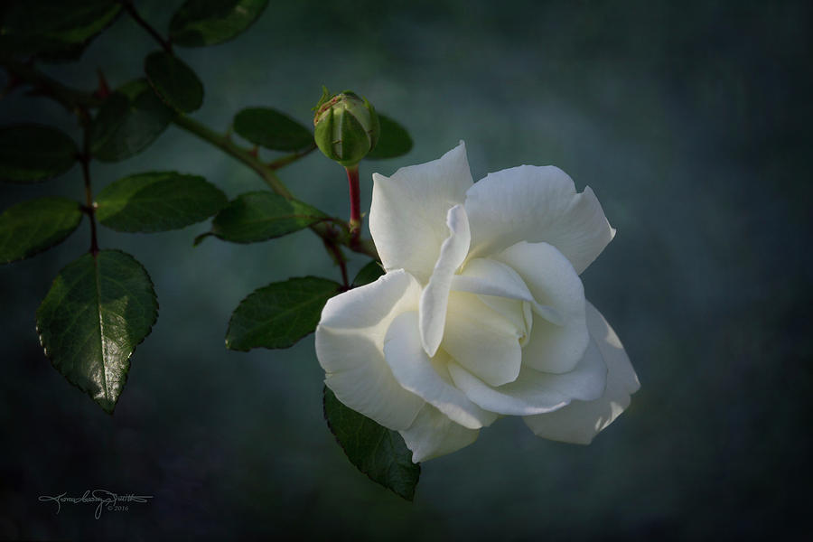 White Rose Photograph - The Encouragement Of Light by Karen Casey-Smith