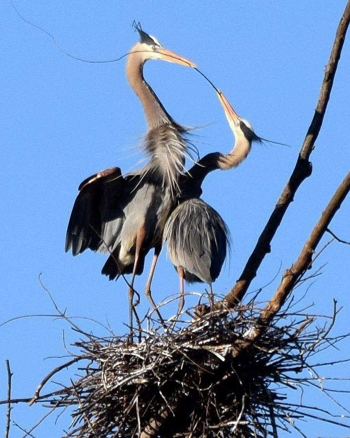 Great Blue Heron Photograph - The Exchange by Frank OBrien